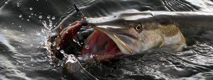 Große Hechte lauern in unseren Gewässern :: Über 70 Gewässer mit einer Angelkarte :: Müritzfischer
